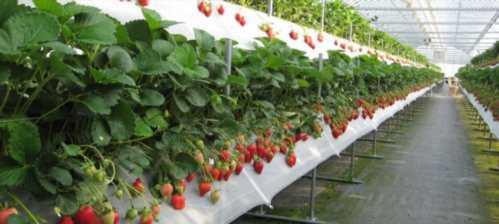 Выращивание клубники в ленинградской области